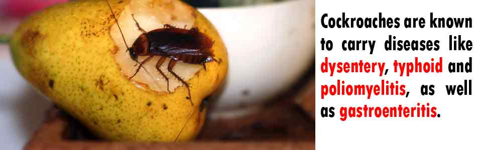 cockroaches_eating_fruit